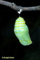 MO06-006z  Monarch Butterfly - newly formed chrysalis - Danaus plexippus