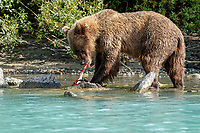 Alaskan Brown Bear (Ursus Arctos) sow eats salmon at  shore of Crescent Lake in Lake Clark National Park, Alaska.  Summer<br /> <br /> Photo by Jeff Schultz/  (C) 2019  ALL RIGHTS RESERVED<br /> <br /> b