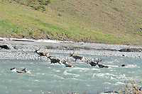 A group of caribou crosses the Kongakut River, in Alaska's Arctic National Wildlife Refuge.