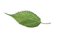 Schwarzer Maulbeerbaum, Schwarze Maulbeere, Maulbeeren, Morus nigra, Black Mulberry, Common Mulberry, blackberry, Le mûrier noir, Maulbeergewächse, Moraceae. Blatt, Blätter, leaf, leaves