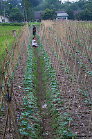 Yogyakarta, Java, Indonesia.  Cultivating Cucumbers, opposite the Plaosan Temple Complex.