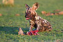 African Hunting Dog or Painted Hunting Dog (Lycaon pictus) feeding on young Impala kill. South Luangwa National Park, Zambia.