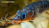 1S31-509z   Male Threespine Stickleback, Mating colors showing bright red belly and blue eyes, carrying nest material in his mouth, Gasterosteus aculeatus,  Hotel Lake British Columbia