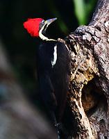 Female lineated woodpecker