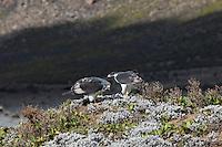 Augur Buzzard breeding pair in the Bale Mountains of Ethiopia