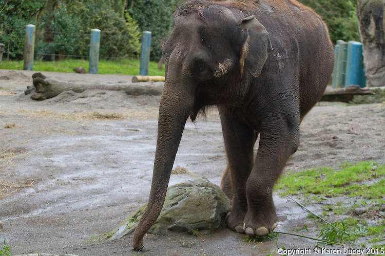 Chai, forages for food. Woodland Park Zoo officials announced at a press conference Friday that 48-year-old Bamboo and 36-year-old Chai will be moved to the Oklahoma City Zoo in late March to mid-April. (photo © Karen Ducey Photography)