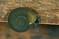 Flache Tellerschnecke, Gemeine Tellerschnecke, Planorbis planorbis, ramshorn, rams horn, rams horn snail, Tellerschnecken, Planorbidae, Ram's horn snails, freshwater snail, freshwater snails