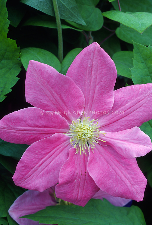Clematis Hanaguruma. Large reddish pink flowers produced in early summer. The Japanese name of this richly coloured variety means 'Wheel of blossom'