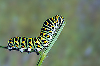 Schwalbenschwanz, Schwalben-Schwanz, Raupe, Papilio machaon, Old World Swallowtail, common yellow swallowtail, swallowtail, swallow-tail, caterpillar, Le Machaon, Grand porte-queue