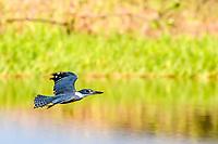 Adult ringed kingfisher, Megaceryle torquata, in flight, Yanallpa caño, Upper Amazon River Basin, Loreto, Peru, South America