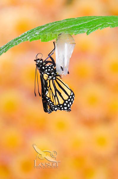 MONARCH BUTTERFLY life cycle..Emergence on Joe-Pye leaf. .North America. (Danaus plexippus).
