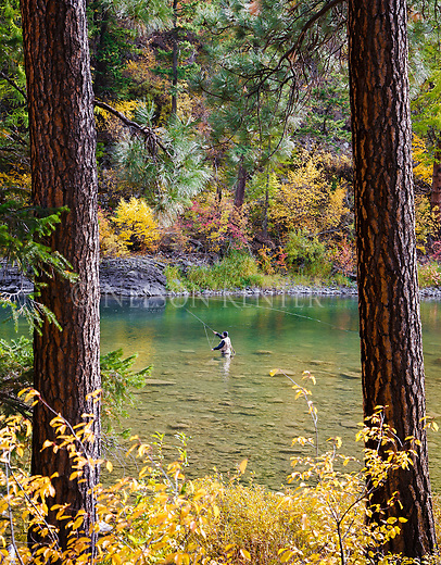 A fisherman casts his fly in the Blackfoot River in western Montana. Wading in the Blackfoot River in autumn.