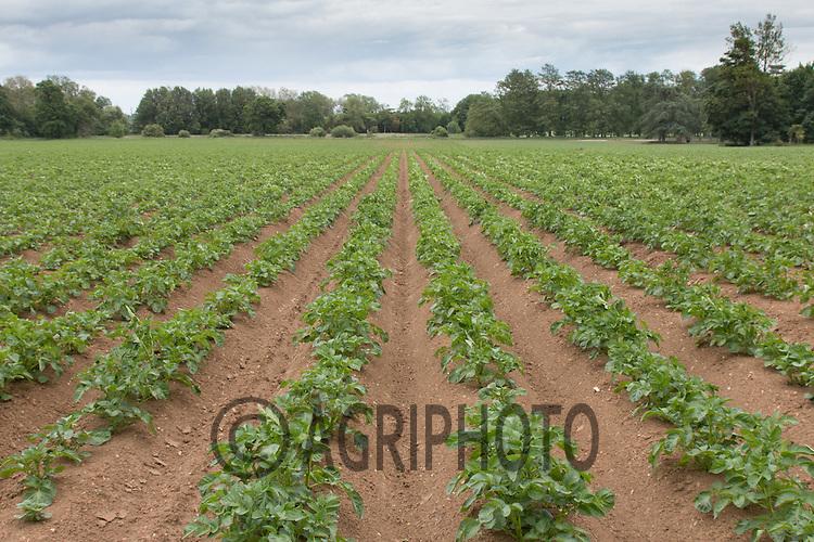 Main crop Potatoes <br /> Picture Tim Scrivener 07850 303986