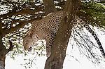 Male Leopard (Panthera pardus) climbing down a tree bough. Long Gully near Ndutu, Ngorongoro Conservation Area, Tanzania. April 2015