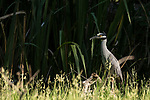 Damon, Texas; a yellow-crowned night-heron foraging for food along the edge of the slough in early morning sunlight