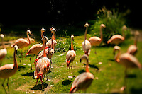 Flamingos (genius phoenicopterus and family phoenicopteridae) glow brightly at The North Carolina Zoo, located in the town of Asheboro, North Carolina. The North Carolina Zoo, located about 70 miles west of Raleigh and about 90 miles from Charlotte, is one of the largest natural habitat zoos in the United States that allows visitors to walk through its grounds. One of only two state-supported zoos in the country, the NC Zoo was the first American zoo to incorporate the natural habitat philosophy, which presents animals and plants together in exhibits that resemble the natural habits of these creatures in the wild. The North Carolina Zoological Park features animals from Africa and North America. The 1,500-acre  zoo is located atop Purgatory Mountain, which is part of the Uwharrie Mountains in central North Carolina.