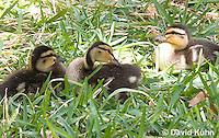 0217-1205  Mallard Ducklings, Anas platyrhynchos  © David Kuhn/Dwight Kuhn Photography