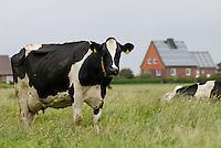 GERMANY grazing milk cow at Pellworm Northsea island / DEUTSCHLAND , <br /> grasende Milchkuh auf Nordseeinsel Pellworm - Bürgerenergie, Buergerenergie
