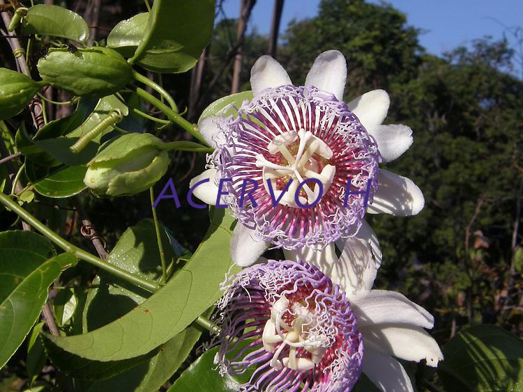 """Foto João Batista<br /> <br /> Maracujá (do tupi mara kuya, """"fruto que se serve"""" ou """"alimento na cuia"""") é um fruto produzido pelas plantas do género Passiflora (essencialmente da espécie Passiflora edulis) da família Passifloraceae. O nome da árvore é também conhecido como Maracujazeiro.<br /> <br /> É espontâneo nas zonas tropicais e subtropicais da América.<br /> <br /> Cultivada também pela sua flor ornamental (tal como as outras espécies do mesmo género botânico), a Passiflora edulis é cultivada com fins comerciais, devido ao fruto, no Caribe, no sul da Florida e no Brasil, que é o maior produtor - e também consumidor - mundial de maracujá. O maracujá de uso comercial é redondo ou ovóide, amarelo ou púrpura-escuro quando está maduro, e tem uma grande quantidade de sementes no seu interior.<br /> <br /> O fruto é utilizado especialmente para produzir suco ou polpa de maracujá, às vezes misturada a suco de outros frutos, como a laranja. Acredita-se que o fruto possua propriedades calmantes.<br /> <br /> A flor do maracujá é polinizada principalmente por um inseto conhecido como mamangava."""