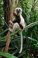 Coquerel's Sifaka (Propithecus coquereli), adult, Ankarafantsika National Park, Madagascar