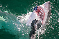 great white shark, Carcharodon carcharias, attacking on and biting off seal shaped decoy, False Bay, South Africa, Atlantic Ocean
