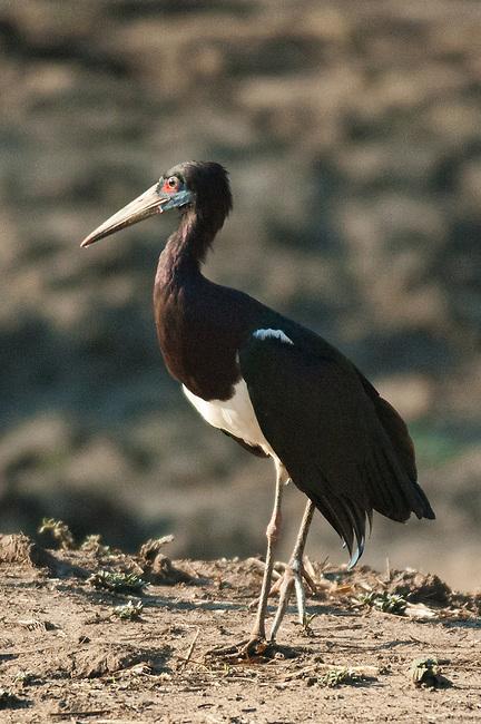 Abdim's Stork, South Luangwa National Park
