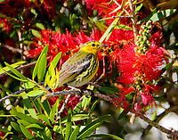 Adult male Cape May warbler in bottle brush bush. There were several of these blooming bushes and the bird was feeding or sitting in one of these bushes most of the time.