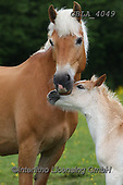 Bob, ANIMALS, REALISTISCHE TIERE, ANIMALES REALISTICOS, horses, photos+++++,GBLA4049,#a#, EVERYDAY