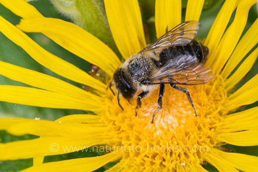 Blattschneiderbiene, Blütenbesuch an Alant, Blattschneider-Biene, Blattschneiderbienen, Megachile spec., Leafcutter-Bee, Leafcutter Bee, Leafcutter Bees, Megachilidae