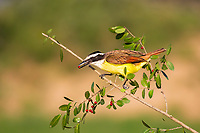 Great Kiskadee perched on branch with red berry in beak