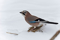 Eichelhäher, im Winter bei Schnee, Eichel-Häher, Garrulus glandarius, Eurasian jay, jay, jaybird, snow, Le Geai des chênes