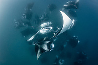 reef manta rays, Manta alfredi, vortex-feeding on plankton, Hanifaru Bay, Baa Atoll, Maldives, Indian Ocean