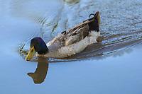 Anas platyrhynchos Goose Ducks Wildlife Animals Free Birds Swimming In Lake Outdoors Landscape<br /> <br /> Anas platyrhynchos Patos De Oca Animales De La Vida Silvestre Pájaros Libres Nadando En El Lago Al Aire Libre Paisaje<br /> ,patos de vida silvestre en humedal, Pato. (Photo: Luis Gutierrez / NortePhoto.com).