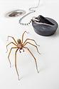 Male House Spider (Tegenaria sp.) in bathroom basin. Shropshire, UK. September.