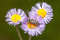 An adult Zebra Longhorn (Typocerus zebra) beetle perches on a violet fleabane flower in search of nectar.