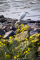 Behind a bevy of yellow flowers, a Snowy egret surveys the water, watching for food, on the rocky bank at the San Leandro Marina.