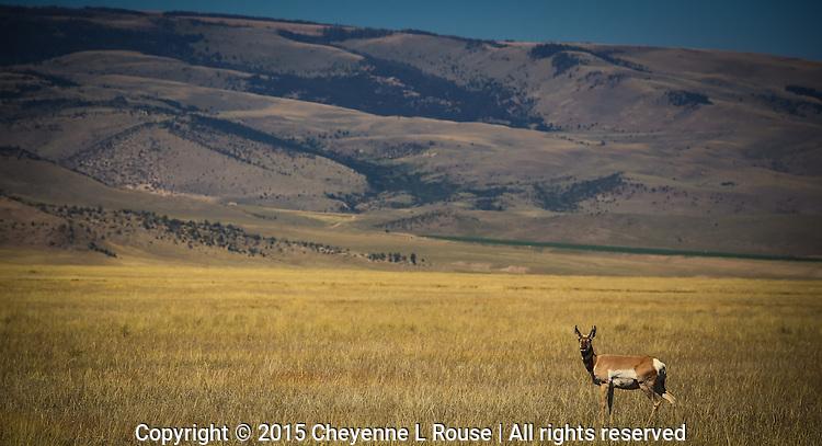 So Montana!  Pronghorn Antelope