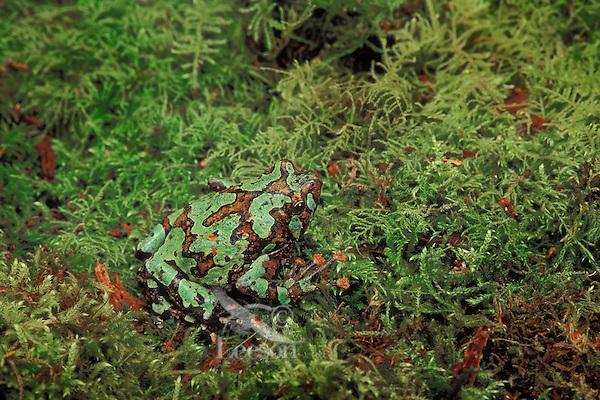 MARBLED RAIN FROG aka BURROWING FROG..Native to Madagascar. Captive..(Scaphiophryne marmorata).