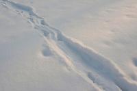 Europäischer Fischotter, Otter, Fisch-Otter, Spuren im Schnee auf einem zugefrorenem Teich, Lutra lutra, European river otter