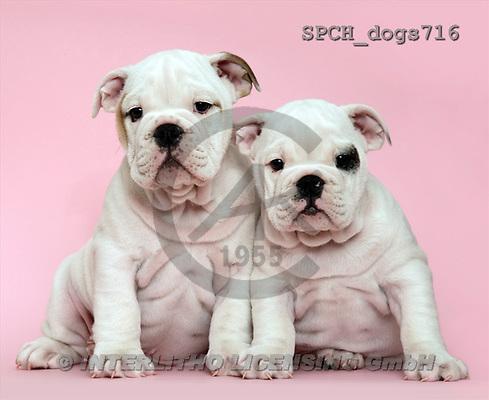 Xavier, ANIMALS, dogs, photos(SPCHdogs716,#A#) Hunde, perros