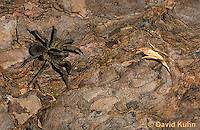 1006-0909  Wolf Spider Camouflaged on Bark of Wood, Hogna spp. [formerly Lycosa spp.]  © David Kuhn/Dwight Kuhn Photography