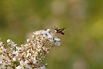 Hummingbird clearwing moth