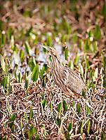 American Bittern standing in reeds in Viera wetlands