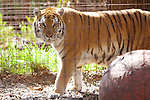 Tiger, Big Cat Rescue