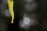 Tropical Hawaiian fern with morning dew in Volcano Village