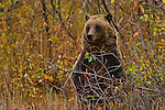 Grizzly 610 forages berries in Grand Teton National Park, Wyoming.