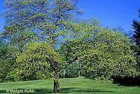 TT18-043z  Oak Tree - Quercus spp.