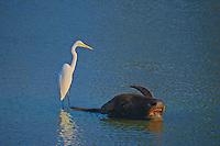 Wild Water buffalo and egret- Yala National Park, Wildlife