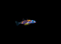 a very colorful unidentified larval Goby photographed during a Blackwater drift dive in open ocean at 60 feet with thrbottom at 600 plus feet below.  Palm Beach, Florida, U.S.A.  Atlantic Ocean