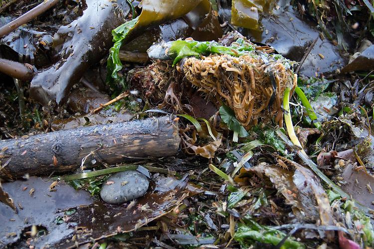 Sand Fleas, Beach Hopper, Traskorchestia traskiana, amphipods, retreating from an incoming tide, Strait of Juan de Fuca, Salish Sea, beach wrack, beaches, Northwest, Puget Sound, intertidal life, tide pools, Washington Coast, Washington State, Pacific Northwest, United States,